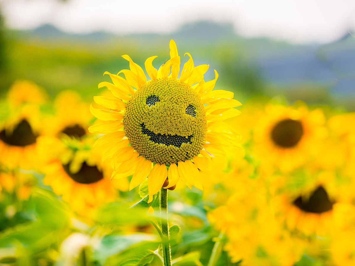 Sunflower optimism